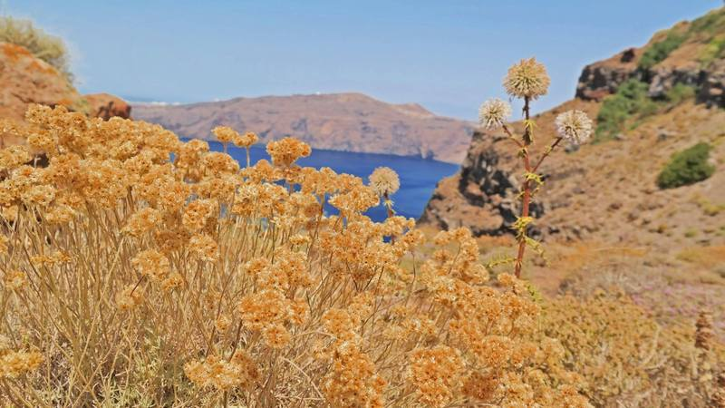 Flowers at Skaros Rock, Imerovigli, Santorini, Greece