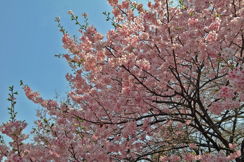 Japan & Spring Blossom Guide - Magazine cover