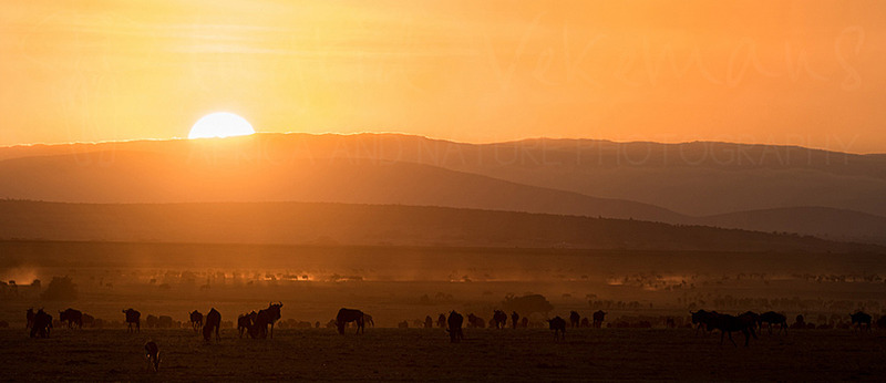 Wildebeest during sunrise in Africa