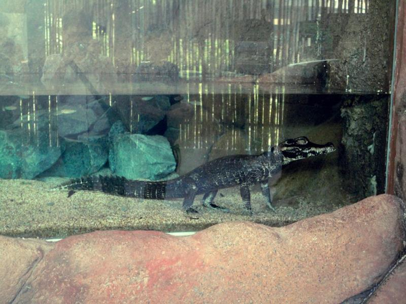 African dwarf crocodile in Congo River