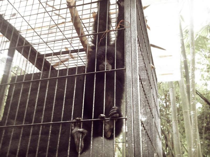 Baby ape spotted at The Hill Hotel & Resort in Sibolangit, Deli Serdang, North Sumatra