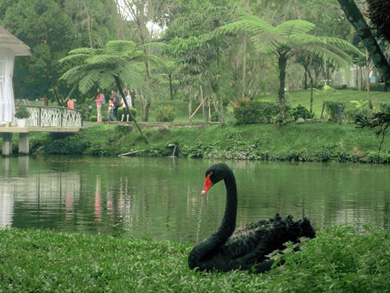 Black swan spotted at The Hill Hotel & Resort in Sibolangit, Deli Serdang, North Sumatra