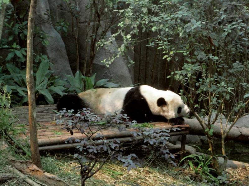 Kai Kai and Jia Jia taking a nap in Giant Panda Forest of River Safari Singapore