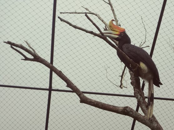 Hornbill spotted at The Hill Hotel & Resort in Sibolangit, Deli Serdang, North Sumatra