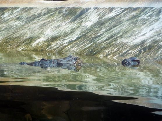 Indian gharial in Ganges River