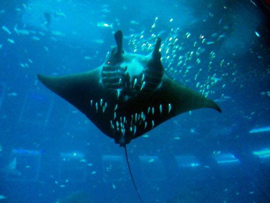Giant oceanic manta ray in S.E.A. Aquarium Sentosa
