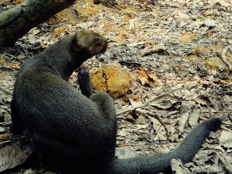 Jaguarundi in Amazon Flooded Forest of River Safari Singapore