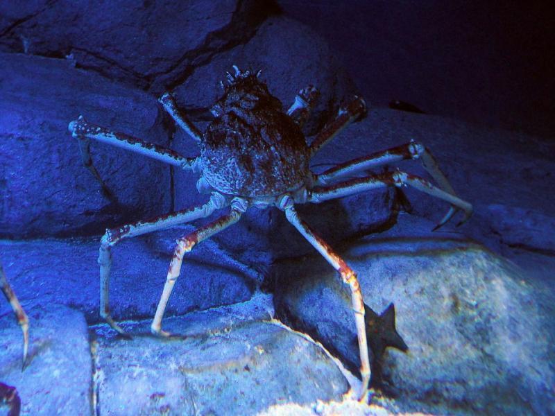 Japanese spider crab in S.E.A. Aquarium Sentosa
