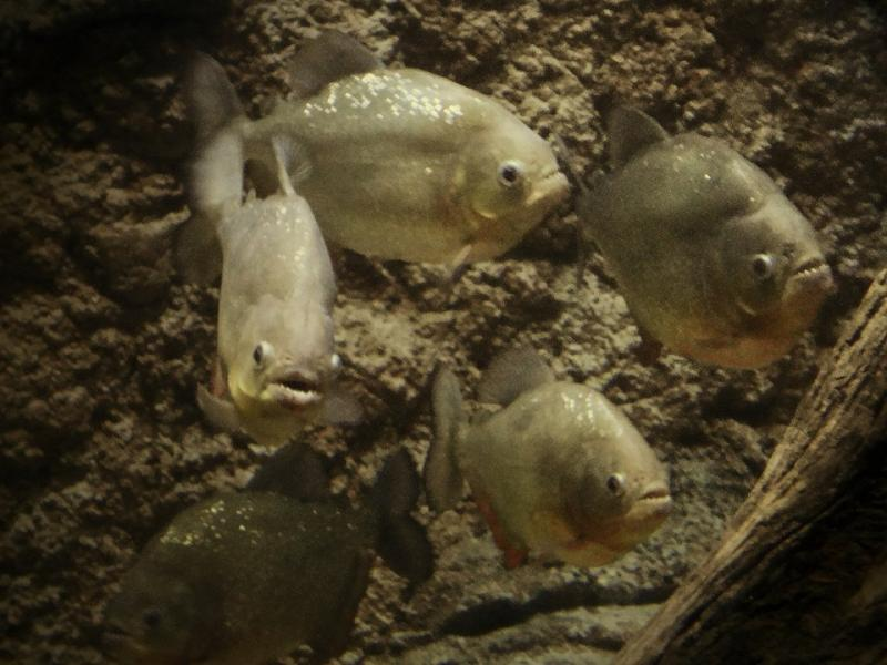 Red-Bellied Piranhas in the Amazon Flooded Forest of River Safari Singapore
