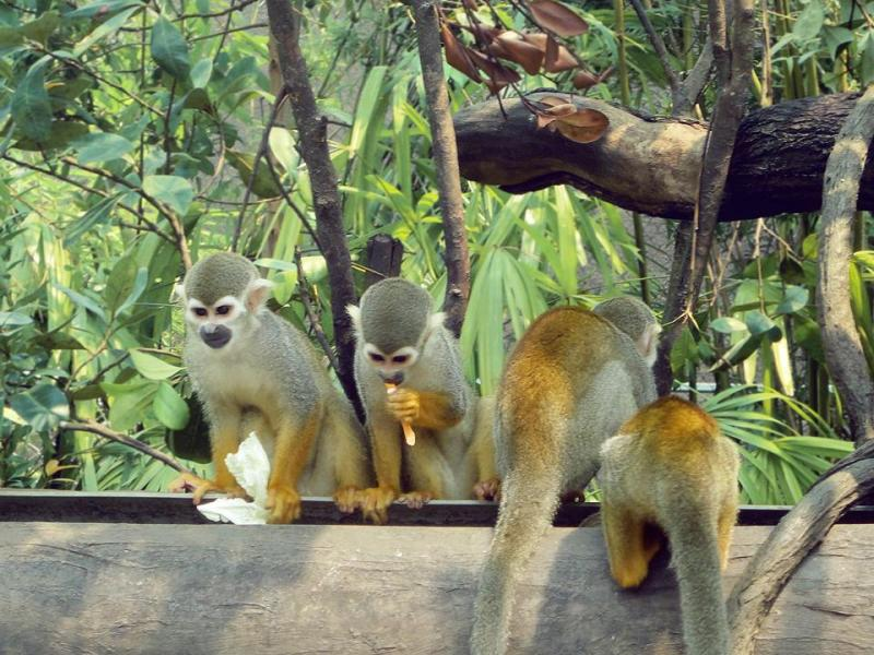 Squirrel Monkeys in Amazon Flooded Forest of River Safari Singapore