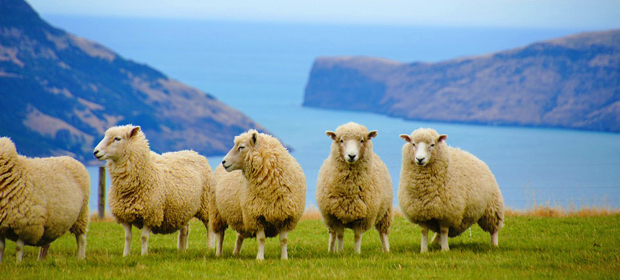 Sheeps, New Zealand