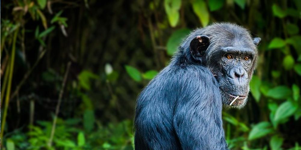 Chimpanzee, Primate Safari, Tanzania