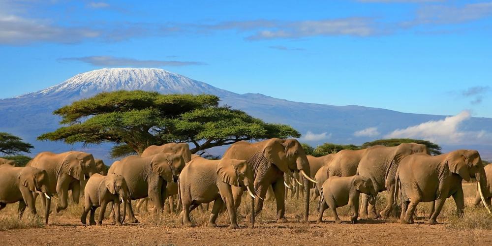 Elephant Herds, Kilimanjaro, Tanzania