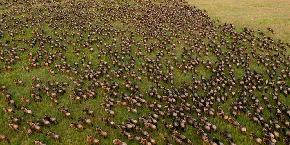 Wildebeest Migration, Serengeti, Tanzania